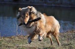 大牧羊犬作用 库存照片