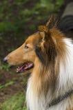 大牧羊犬在公园 库存照片