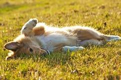 大牧羊犬幼兽 库存图片