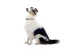 大牧羊犬护羊狗舍德兰群岛 免版税库存图片