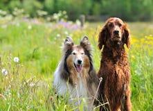 大牧羊犬爱尔兰人的特定装置 免版税库存照片