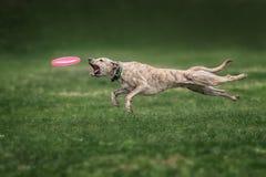 大牧羊犬狗传染性的飞碟 免版税库存图片