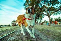 大牧羊犬狗在公园在晴天 图库摄影