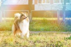大牧羊犬狗在秋天公园 库存图片