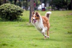 大牧羊犬狗运行中 免版税图库摄影