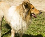 大牧羊犬狗 免版税图库摄影