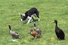 大牧羊犬鸭子成群 免版税图库摄影