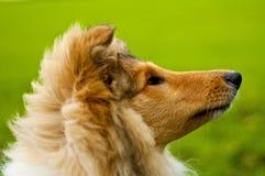 大牧羊犬 图库摄影