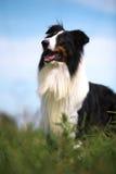 大牧羊犬 免版税库存图片