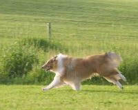 大牧羊犬 库存图片