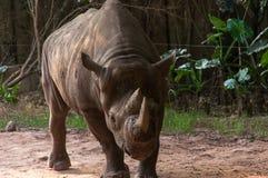 大犀牛的画象 库存照片