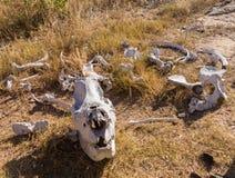大犀牛的头骨在草的在津巴布韦 免版税库存照片