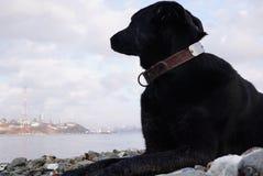 大狗在Pebble海滩和神色说谎往海和相反岸 俄罗斯,符拉迪沃斯托克 库存图片