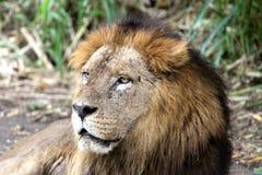 大狮子纵向 免版税库存图片