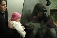 大猩猩伊沃 免版税库存照片