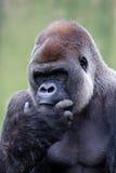 大猩猩低地silverback 免版税库存照片