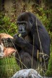 大猩猩吃食物 库存照片