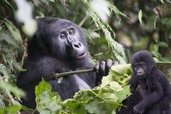 大猩猩和婴孩在乌干达的雨林里 库存图片