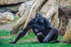 大猩猩在一个动物园里在巴伦西亚,西班牙 图库摄影