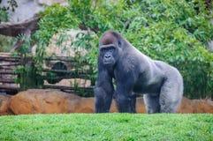 大猩猩在一个动物园里在巴伦西亚,西班牙 库存图片