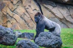 大猩猩在一个动物园里在巴伦西亚,西班牙 免版税库存图片