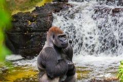 大猩猩在水中用他的手横渡了 免版税库存照片