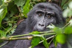 大猩猩在难贯穿的森林里吃叶子 免版税库存图片