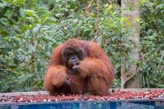 大猩猩坐一个木平台和吃红毛丹Kum 库存照片