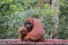 大猩猩坐一个木平台在山附近  免版税库存图片
