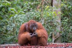 大猩猩坐一个木平台在山附近  库存图片