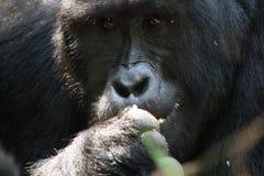 大猩猩大猩猩画象 库存照片