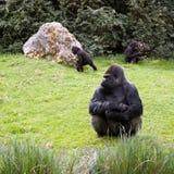大猩猩家庭 免版税库存照片