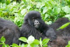 大猩猩山年轻人 库存图片