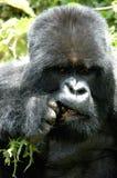 大猩猩山用力嚼 库存图片