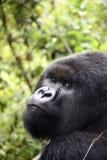 大猩猩山silverback 库存图片