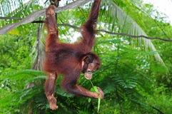 大猩猩年轻人 免版税库存图片