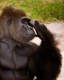 大猩猩思想家 免版税库存照片