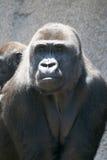 大猩猩母亲 免版税图库摄影