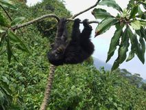 大猩猩牛拉车旅行 免版税库存图片