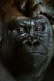 大猩猩特写镜头画象与移交前额 免版税图库摄影