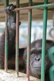 从大猩猩的目光接触 库存照片