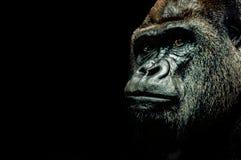 大猩猩的纵向 免版税库存图片
