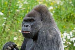 大猩猩看起来斜向一边的silverback 库存图片