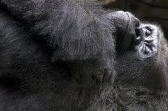 大猩猩睡觉 免版税库存照片