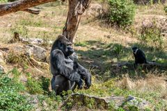 大猩猩等待食物并且看起来严肃 免版税库存图片