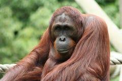 大猩猩纵向 免版税库存图片
