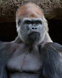 大猩猩-顽固的家伙 库存照片