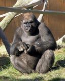 大猩猩 免版税图库摄影