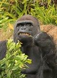 大猩猩 免版税库存图片