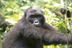 大猩猩- silverback -在非洲的雨林里 免版税图库摄影